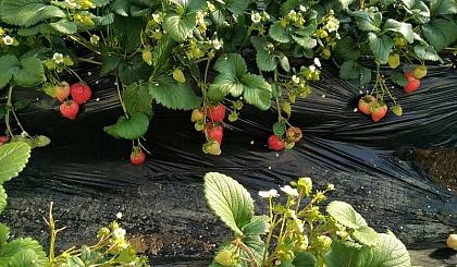 互动吧-来瞧瞧,4月我带你摘草莓🍓吃农家饭