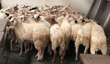 """互动吧-""""关爱贫困家庭,共度古尔邦节""""牛羊肉待客、发放活动"""