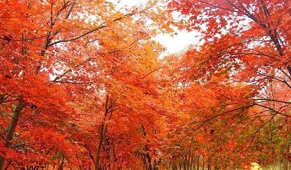 互动吧-【最美红枫】11.17-18情迷南国最美枫叶林、行摄鬼斧神工飞天山