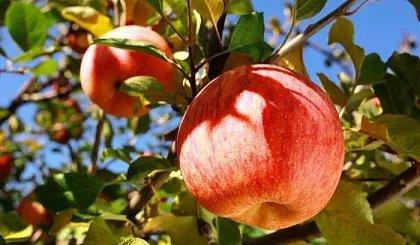 互动吧-[吃书怪秋游] 登山赏秋健步走,采摘香甜大苹果