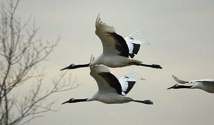 互动吧-黄海之滨,寻找丹顶鹤,观赏越冬鸟群千羽起飞!