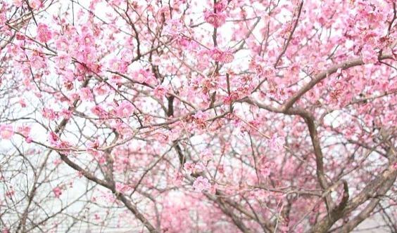 【梅花季】相约西塞山梅海,漫步长三角最长的梅林观光栈道(1天活动)